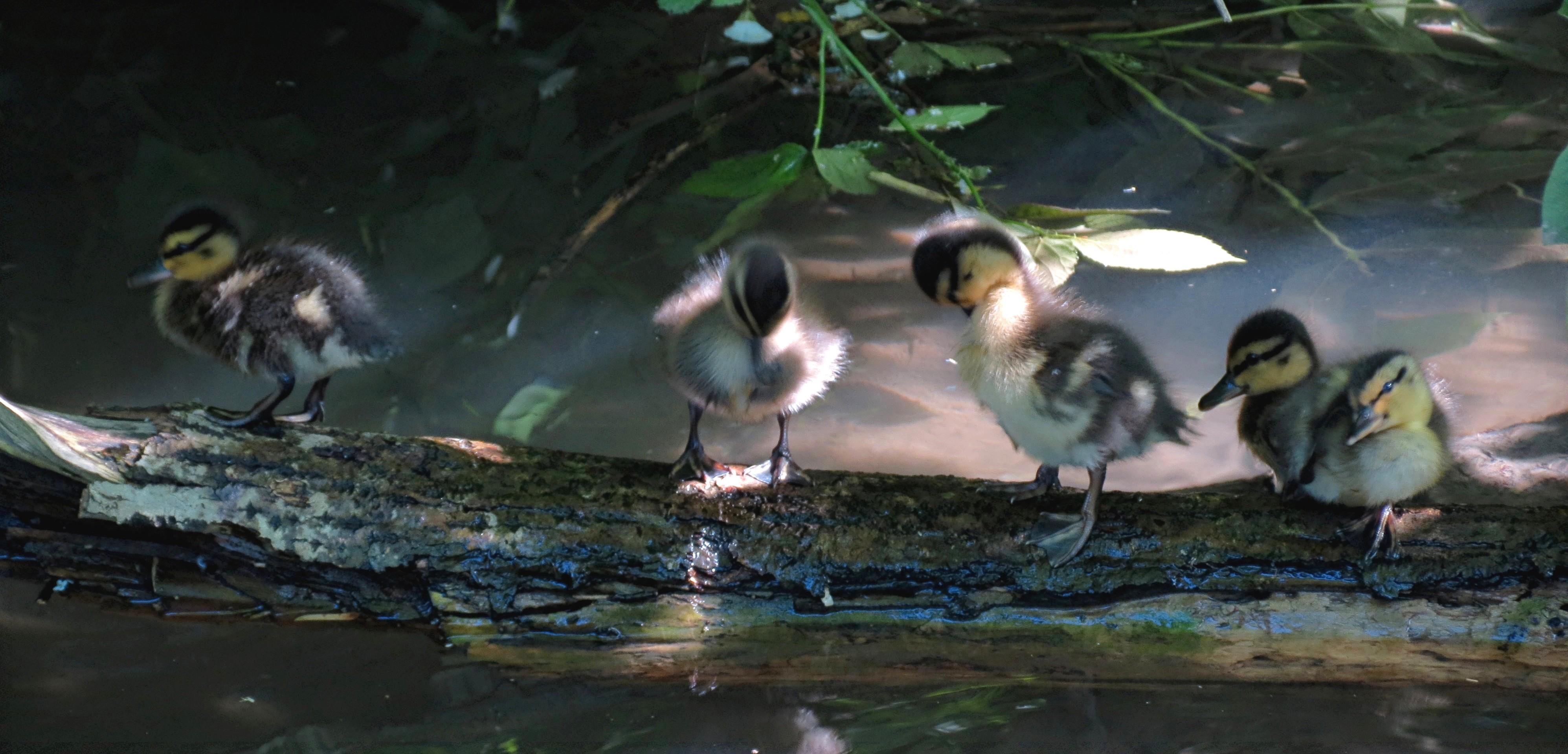 Petits canards